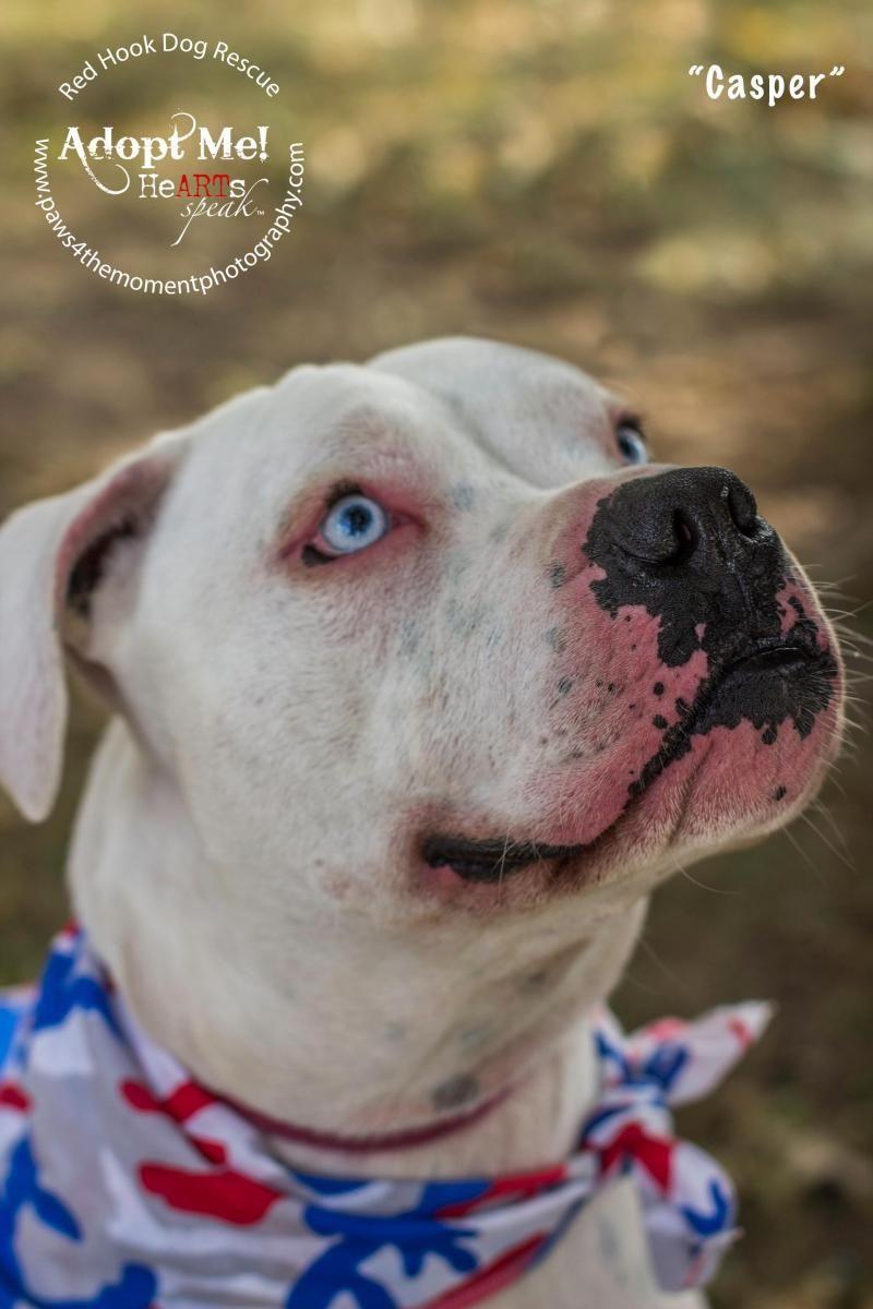 Adopt Casper Blue Eyed Hunk On Animals American Bulldog