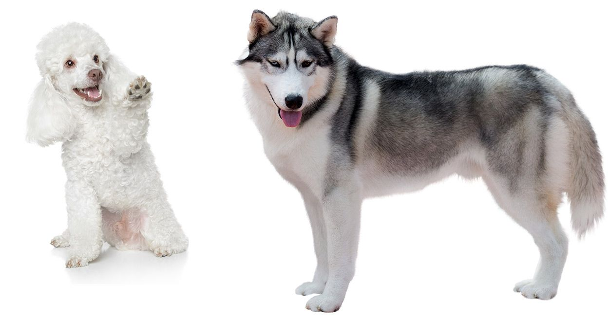 Husky Mixes From The Pomsky To The Huskador Which Is Your Winner