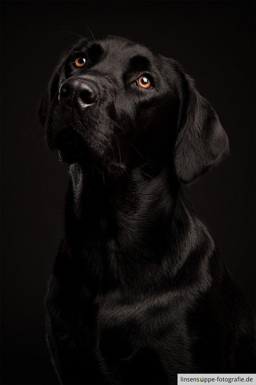 Black Labrador Retriever Dog Pictures