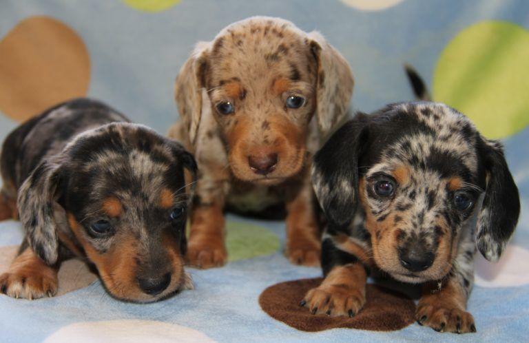 What Are The Coat Patterns Of The Dapple Dachschund In 2020 Dachshund Puppy Miniature Dapple Dachshund Puppy Dapple Dachshund