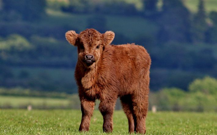 Download Wallpapers Calf 4k Meadow Cows Funny Animals Besthqwallpapers Com Cute Baby Cow Fluffy Cows Baby Highland Cow