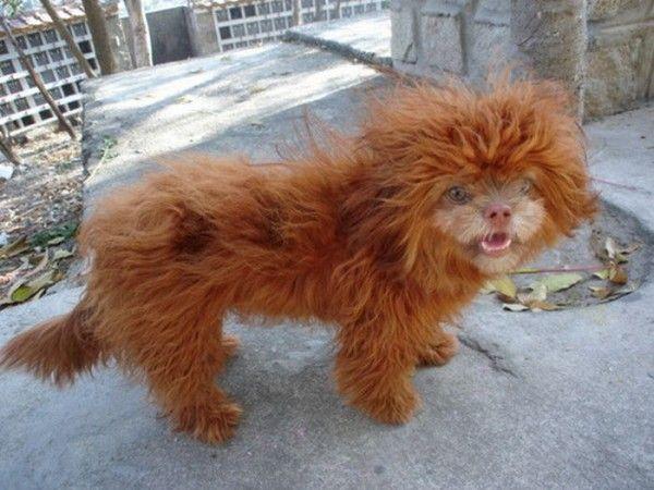 Чубака - собака