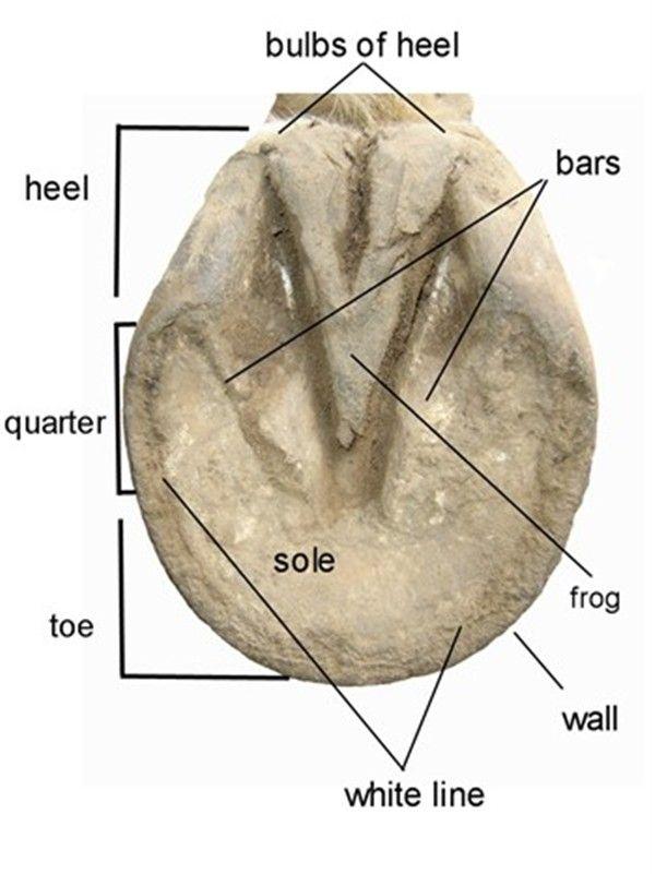 Dorable Anatomy Of Horse Hoof Photos - Image of internal organs of ...
