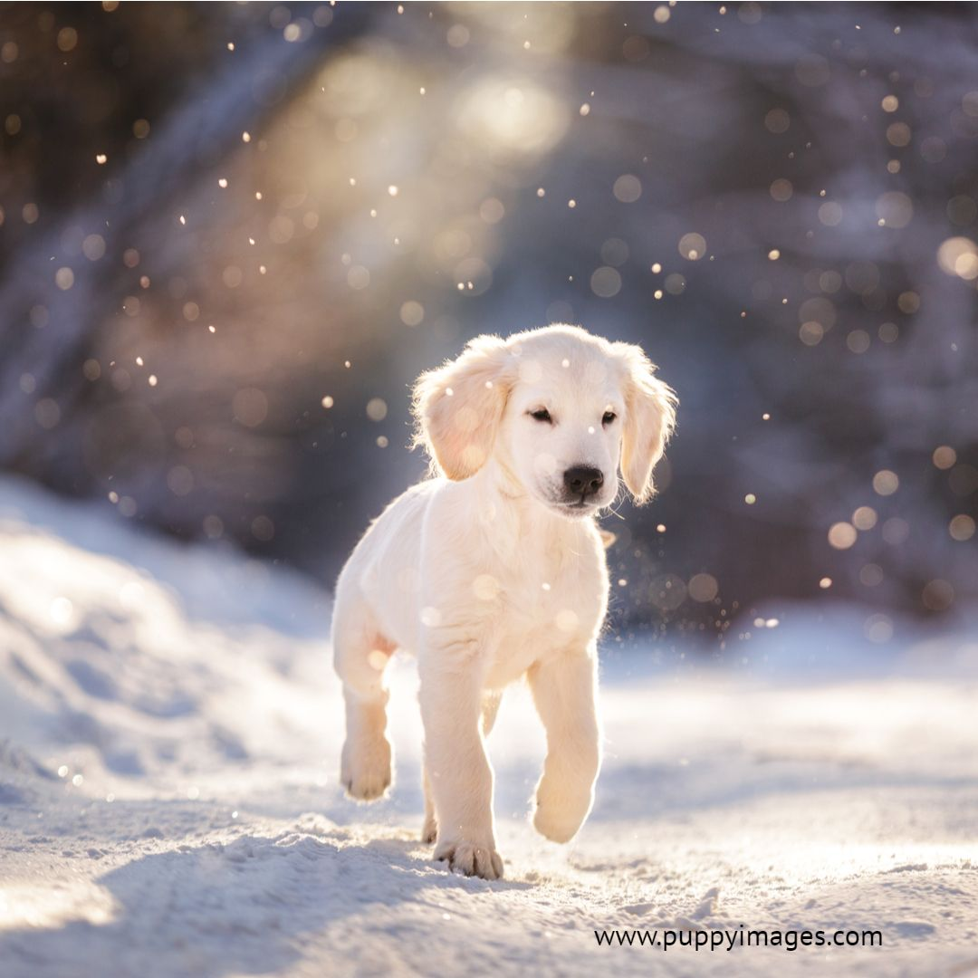 Golden Retriever Puppy In Snow Snow Puppy Puppy Dog Images Golden Retriever Puppy