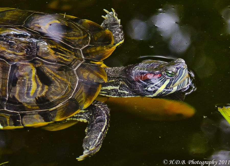 Pond Turtle Red Ear Slider I Know A Lady In Sacramento Ca Who