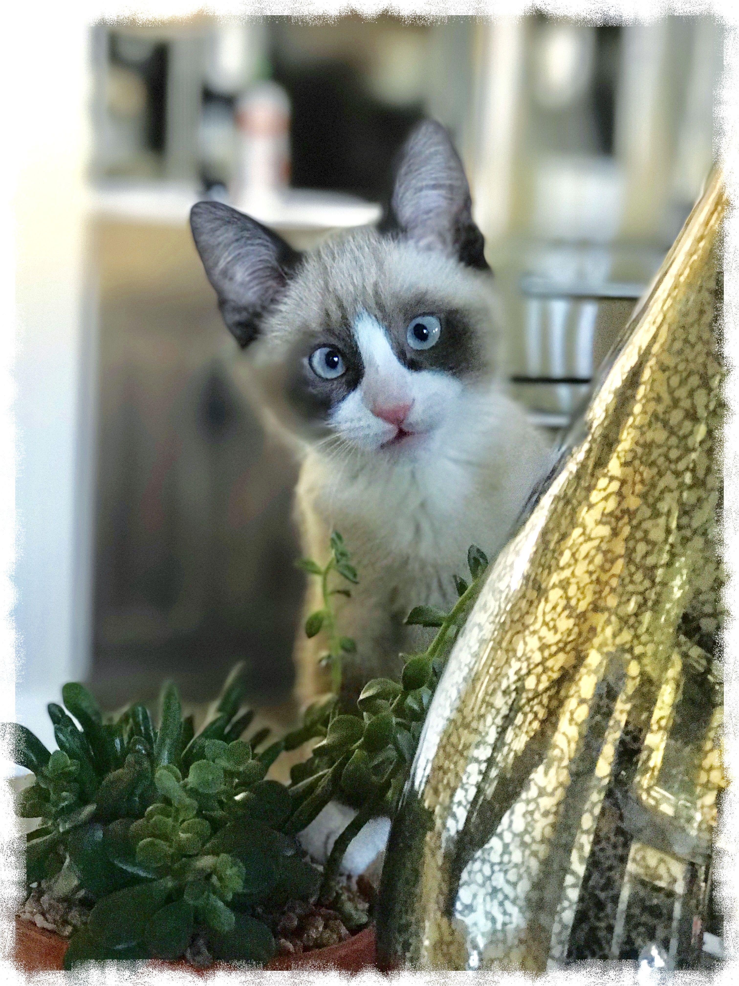 "Snowshoe kitten ""Birch"" Cute cat breeds, Cat facts, Cute"