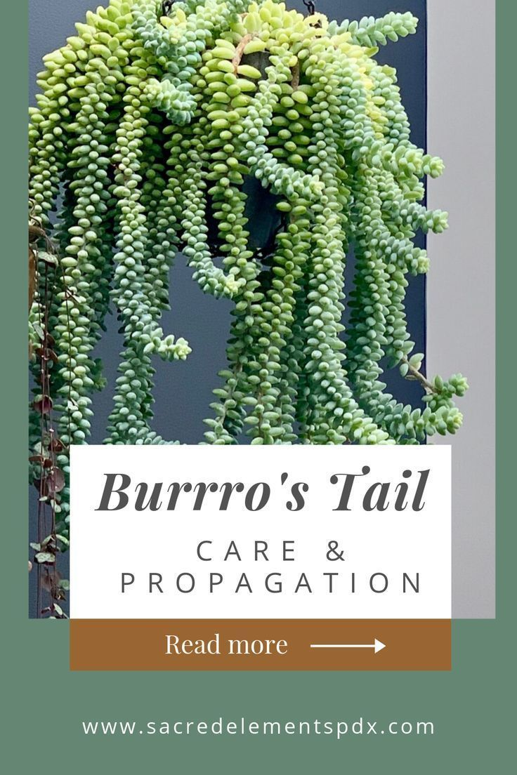Photo of HOW TO: Propagate + Care for Burro's Tail Sedum — Sacred Elements