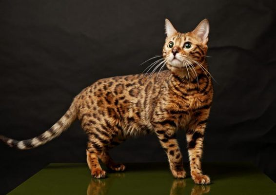 Fabulous Cats That Look Like Tigers Leopards And Other Big Cats