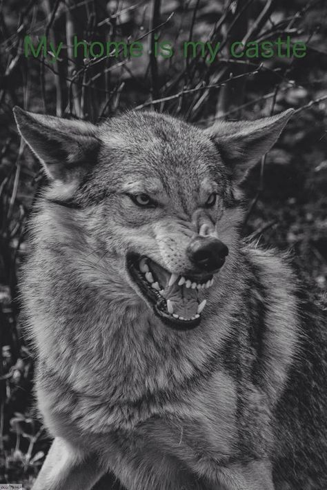 45 ideas for tattoo wolf angry black wolves