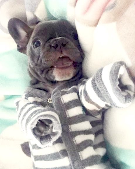 Pin By Cara Mckenzie On Frenchies Bulldog Puppies French