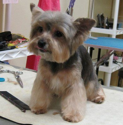 Owners Request Make My Yorkie Boy Cute Yelp Yorkie Puppy