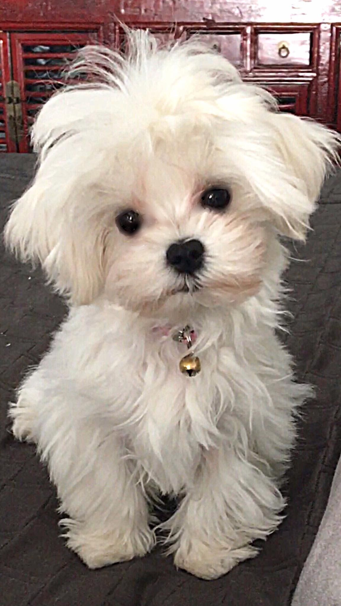 I Want This One Bunny Or Coconut Maltese Teacup Puppies