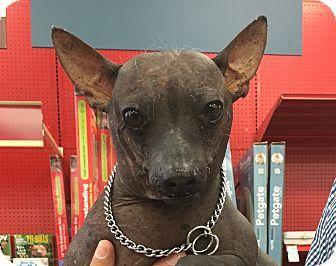 Xoloitzcuintle Mexican Hairless Mix Dog For Adoption In Tucson Arizona Elizabeth Dog Adoption Hairless Dog Pets