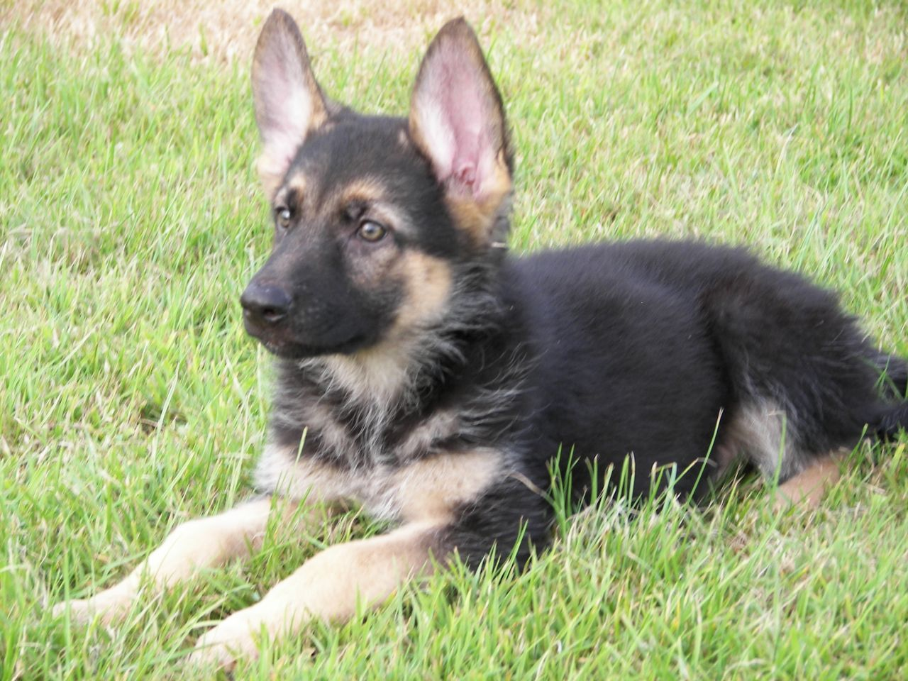 eastgermanshepherdbreedersallabouthairstylingnew