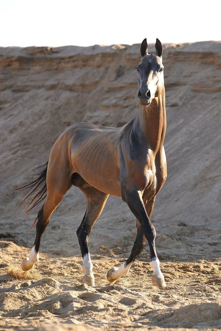 Akhalteke - the most beautiful horse in the world 42