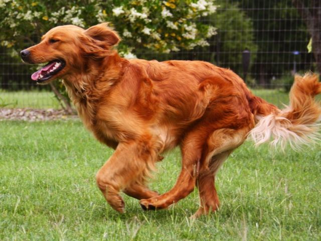 Red Golden Retriever They Re So Pretty I Would Love To Have A
