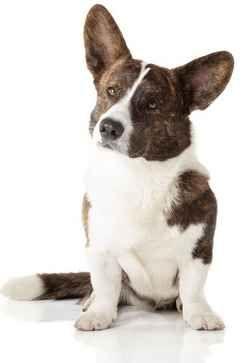 Medium Size Dog Breeds Cardigan Welsh Corgi Puppies Dog Breeds
