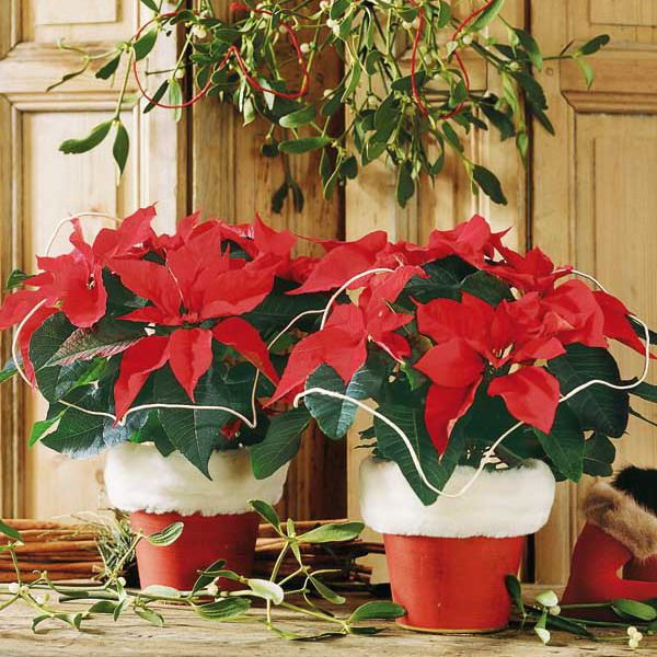 Red poinsettias in Santa pots (great only if you don't have pets)