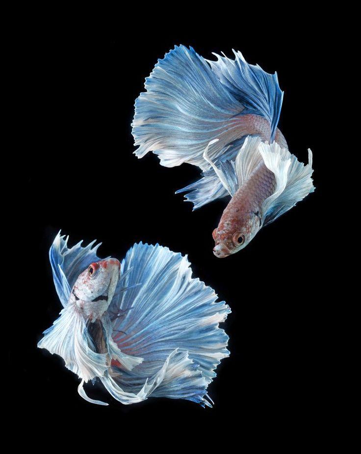 Betta Fish - Siamese Fighting Fish Isolated - ID # 50962719