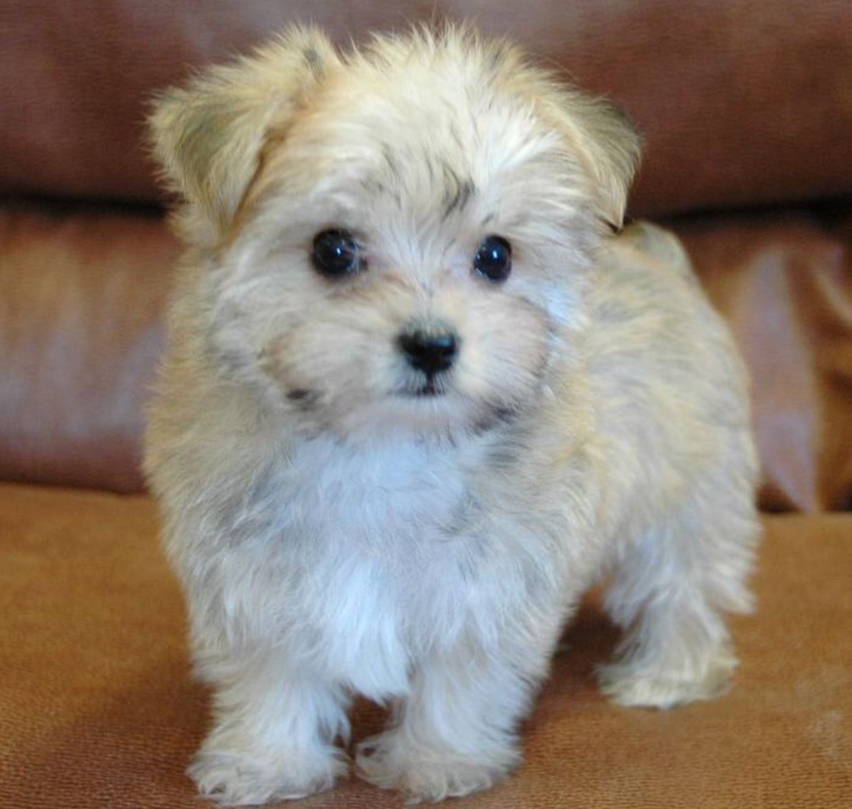 Pin by Ell on Cute dogs Teacup maltipoo, Maltipoo