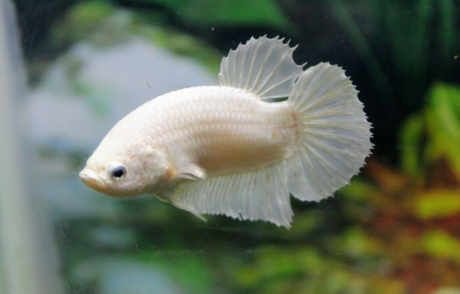 Betta Fish White Breeding Pair Male Female 14 00 Standard Shipping Betta Fish Aquarium Fish For Sale Tropical Freshwater Fish