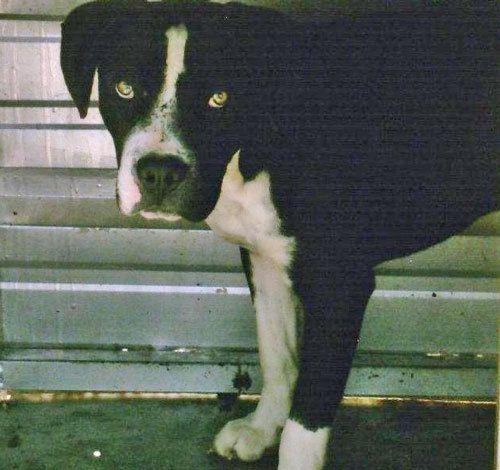 Adopt Yin On Aggressive Dog Dogs Animals