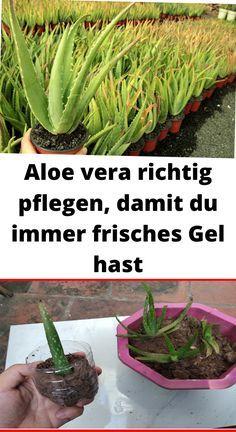 Aloe vera richtig pflegen, damit du immer frisches Gel hast – Haustricks