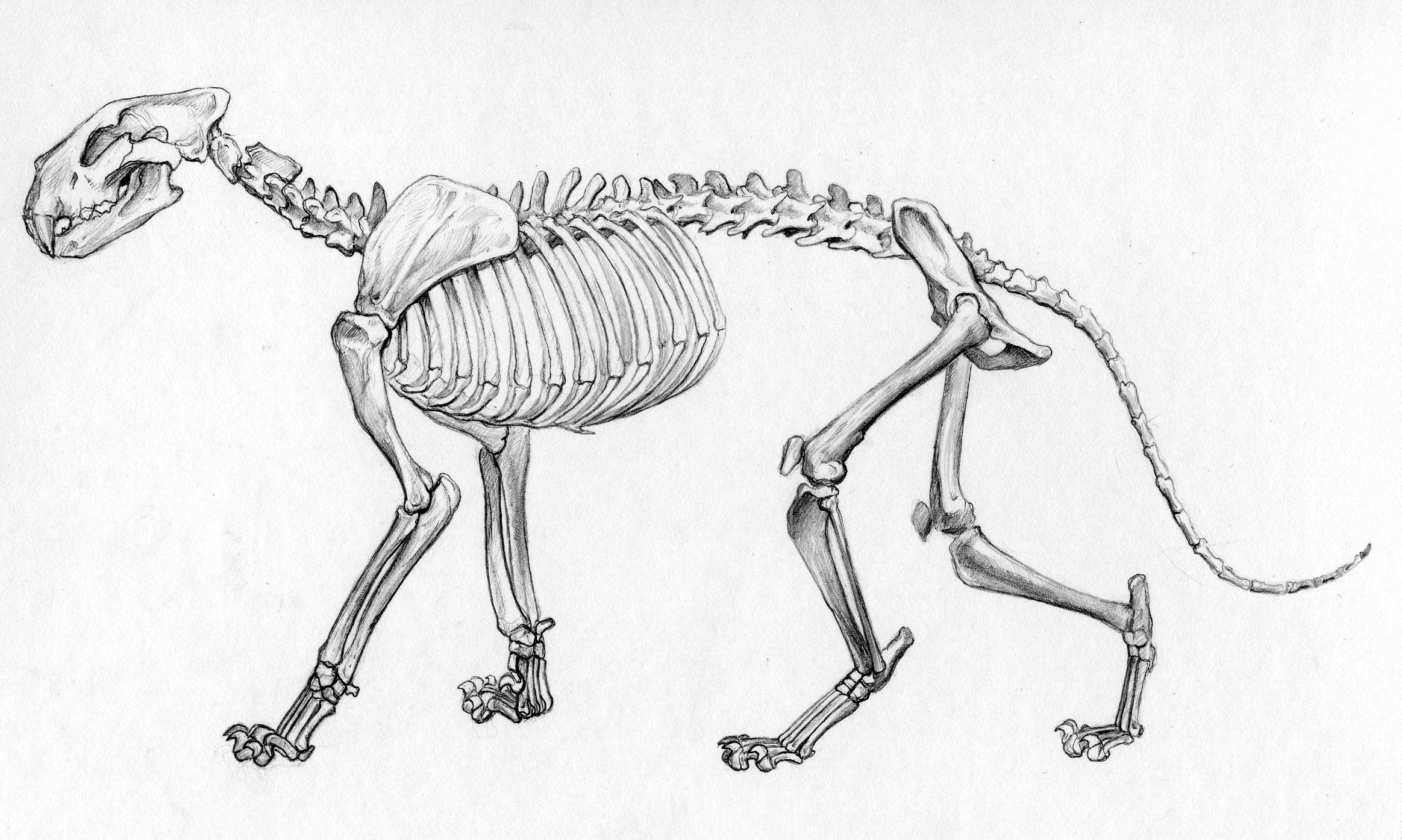 Skeletal System Of African Lion