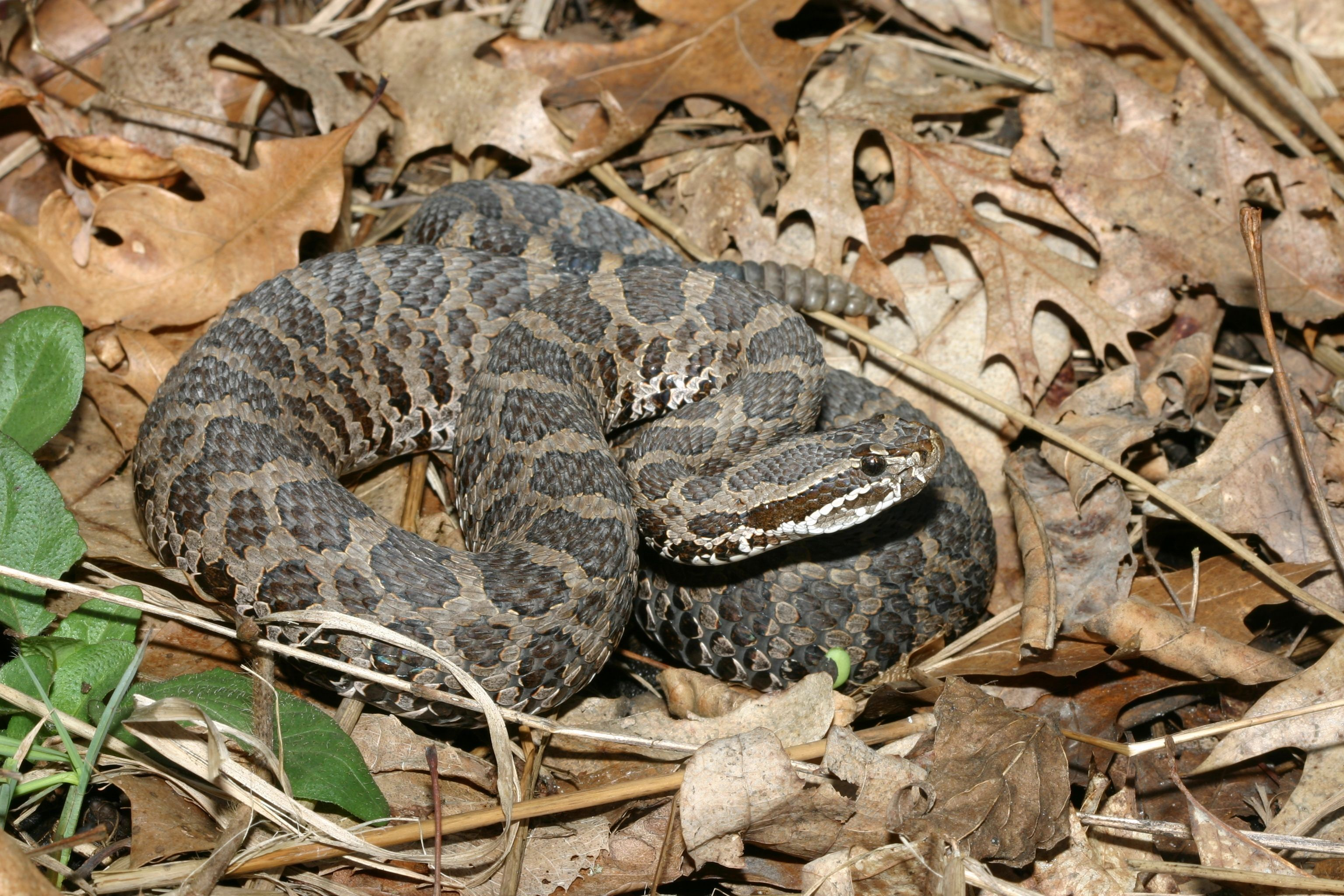 Snakes Venomous Snakes To Look Out For In New Mexico Myers RV - Poisonous snakes in mississippi