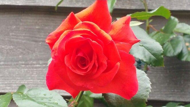 Rosa salita