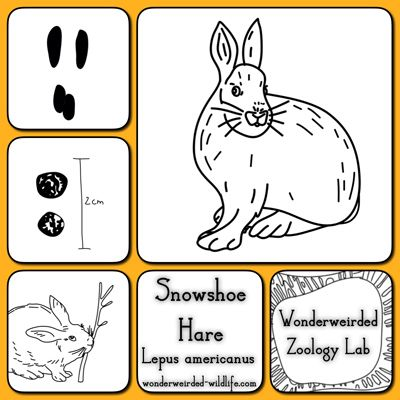 Snowshoe Hare Facts Study Card Our Snowshoe Hare Pictures Printables For The Burgess Book Of Animals Teacher Study Cards Animal Book Living Books Curriculum