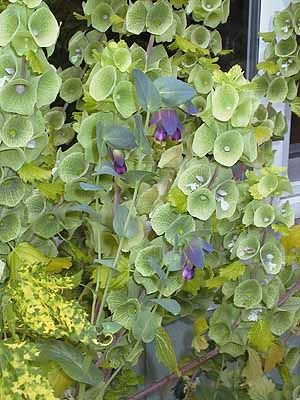 Moluccella Laevis Bells Of Ireland Beautiful Flowers Plants Flowers
