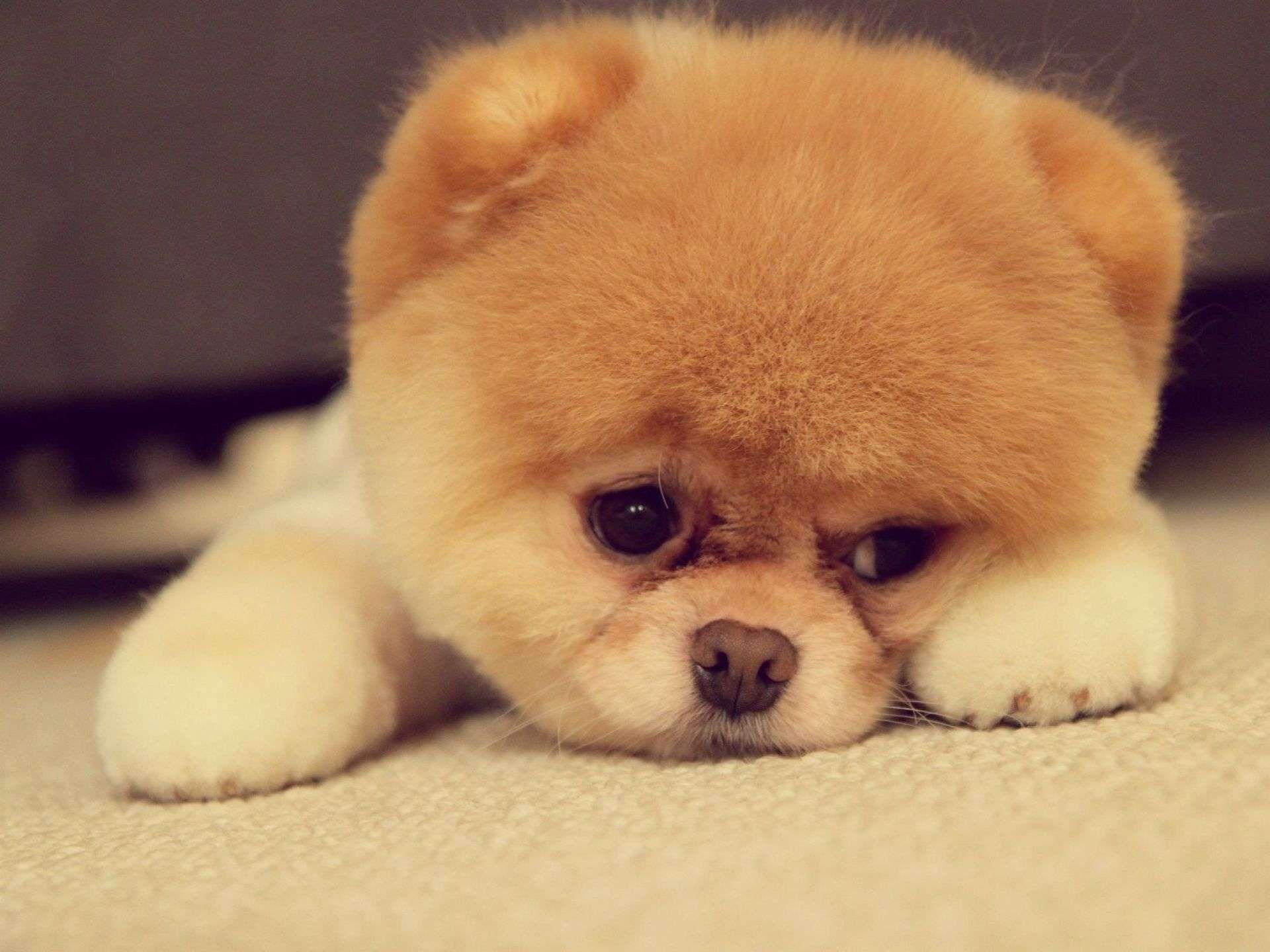 puppy sad puppy face wallpaper hd widescreen high quality pc