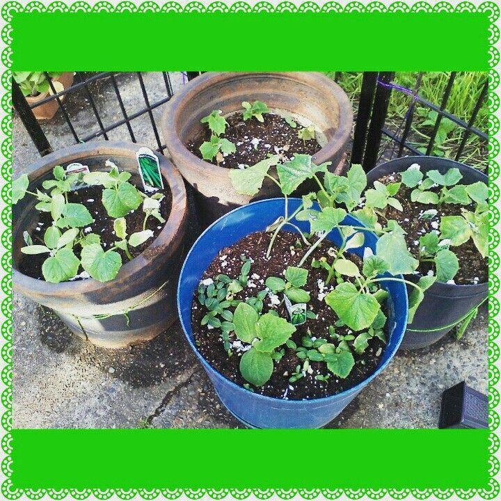 My Cucumbers