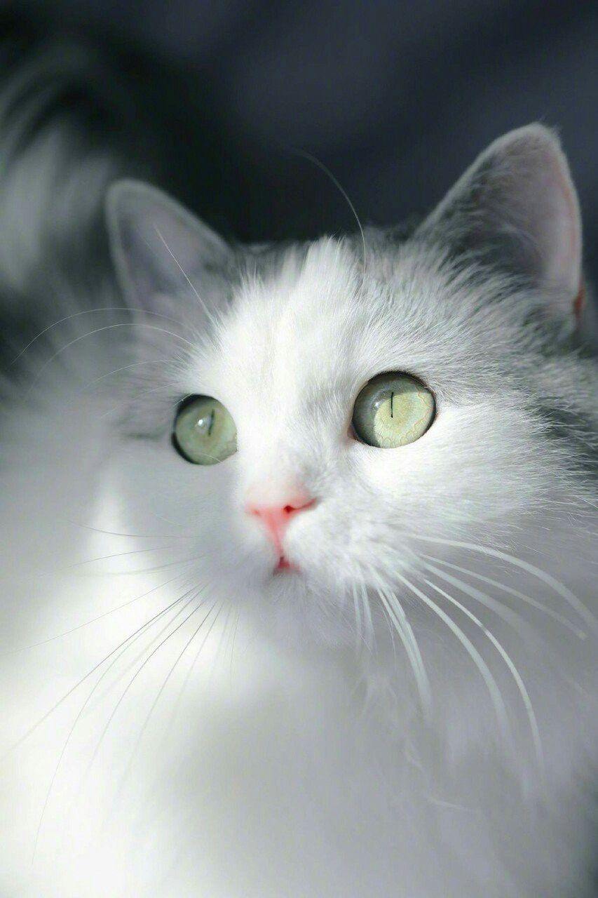 Those Eyes And Little Pink Nose Beautiful Cats Cats Cute Cats