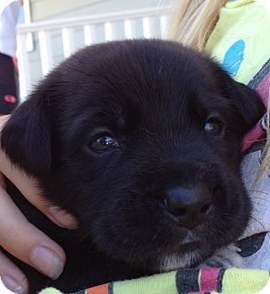 Long Beach Ca Labrador Retriever German Shepherd Dog Mix Meet