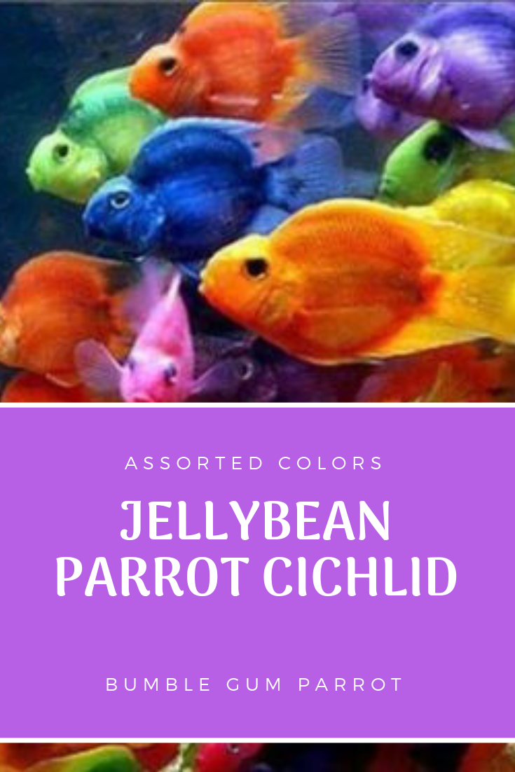 Here We Have A Nice Jellybean Parrot Cichlid Fish He Is About 3 In Length We Have The Best Quality Tropical Fish And Guarante Parrot Fish Fish Fish For Sale