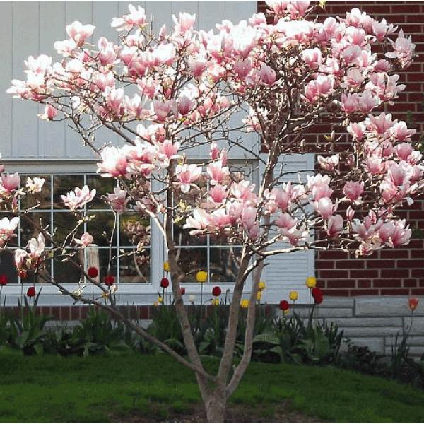Magnolia jane tree plants landscape pinterest for Pink small tree