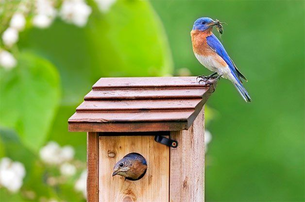 Attract Bluebirds to Your Yard with Nest Boxes in 2020 ...