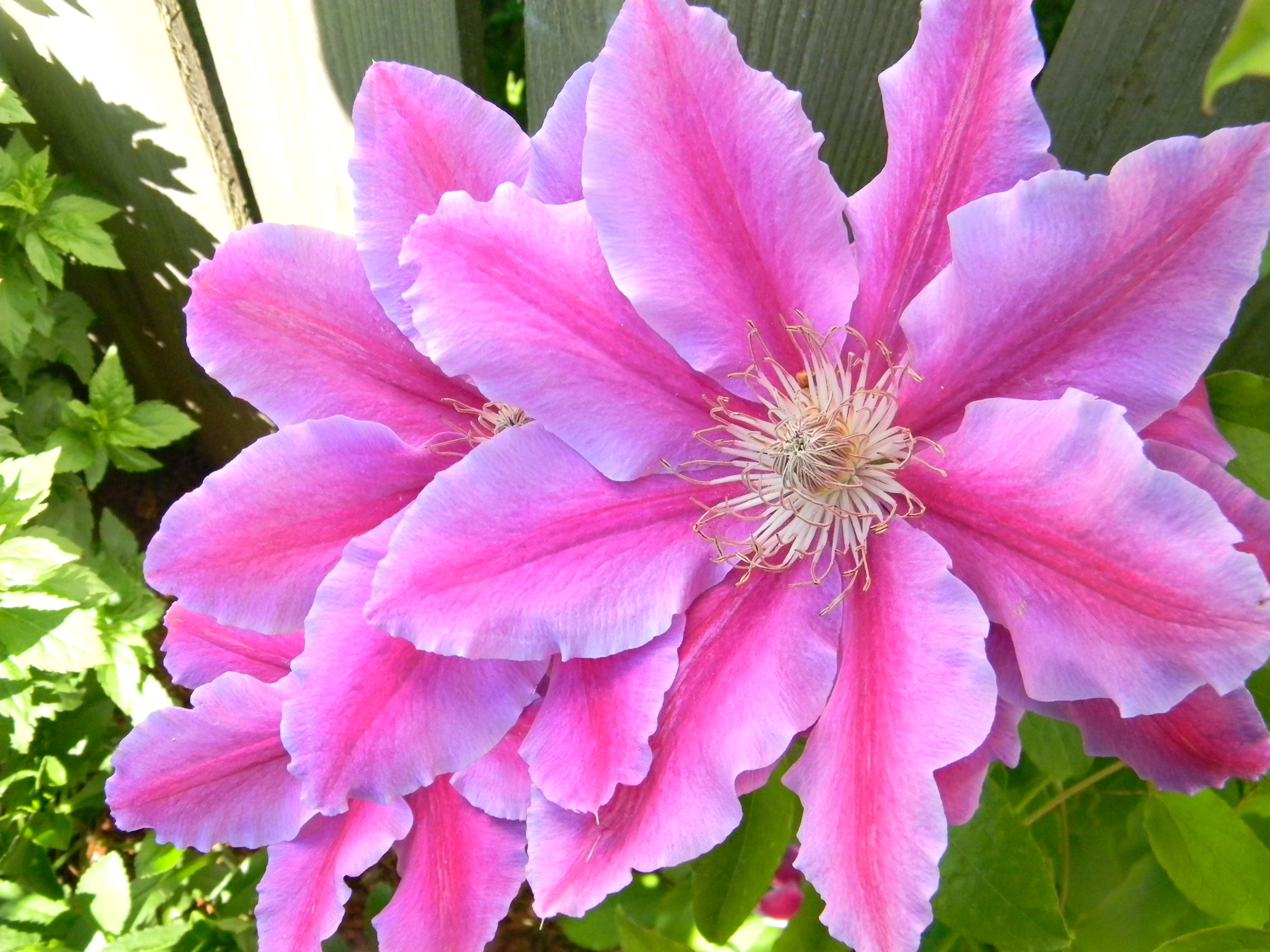 Clematis from my sisters' amazing gardens