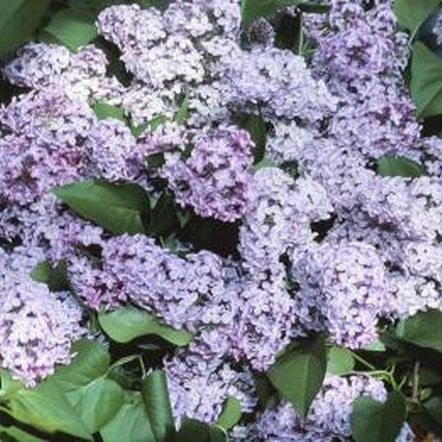 My Lilacs Are Too Tall Leggy Dwarf Lilac Tree Lilac Tree Lilac Bushes