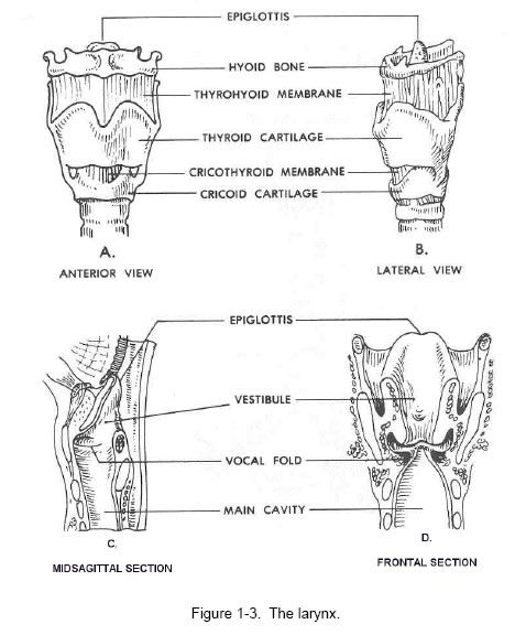 Larynx Physiology | Education : Test Prep & Study Guides | Pinterest ...