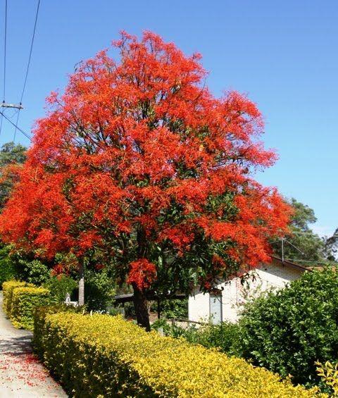 Illawarra Flame Tree Hello Hello Plants Garden Supplies Flame Tree Pretty Trees Flowering Trees