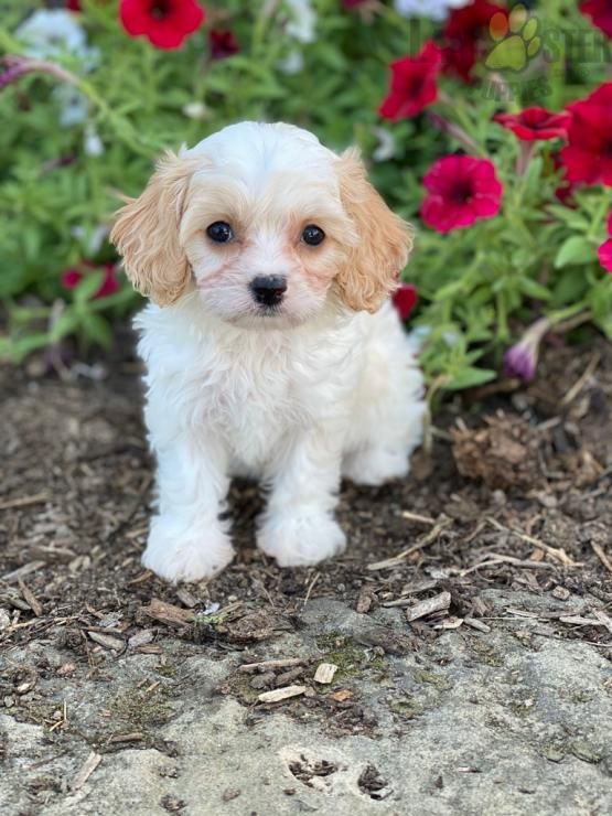 Pin By Lancaster Puppies On Cavapoo Puppies In 2020 Cavachon Puppies Cavachon Cavapoo Puppies