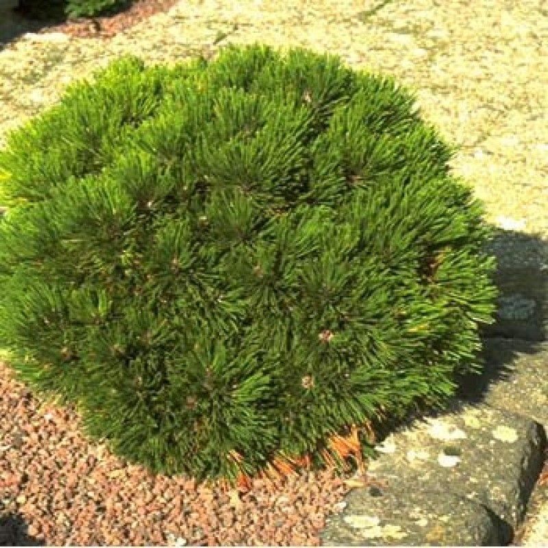 Föhre, Kiefer | Pflanzen, Japanischer garten, Garten