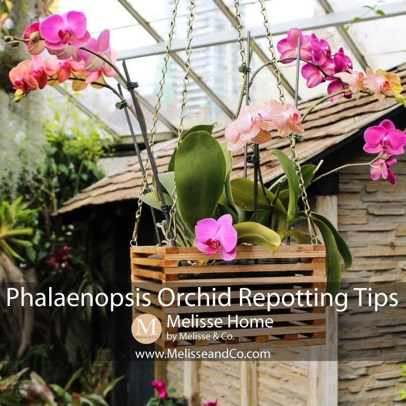 Melisse Co Home Garden On Instagram One Of The Common Mistakes That People Make With Their Phalaenopsis Repotting Orchids Phalaenopsis Orchid Orchids