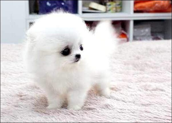 funny-teacup-pomeranian-for-adoption-uk-white-carpet-with ...