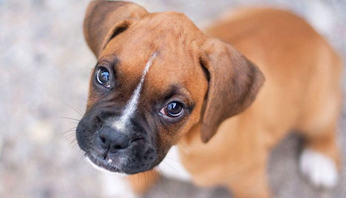 10 Best Dog Foods For Boxers (2019 Guide) Loyal dog