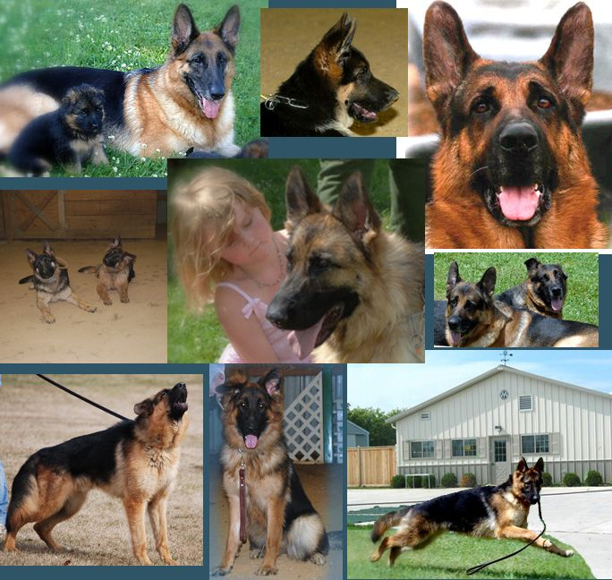 For A Top Grade Pet Boarding Reach Regis Regal German Shepherds