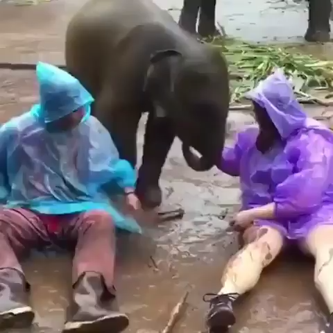 Baby elephant love - there are lap dogs and then there are lap elephants
